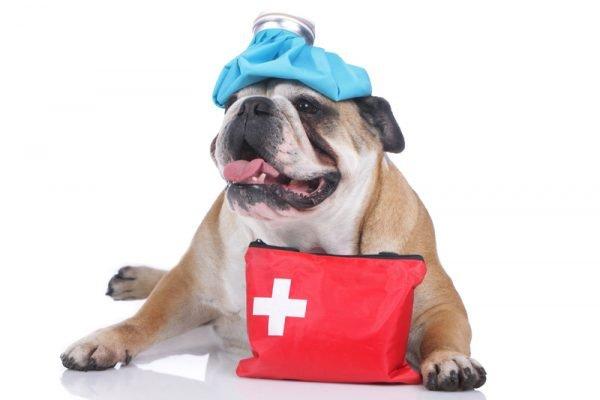 Bulldog Cooldown | The Animal Doctor, Veterinary Care, Broomfield, CO
